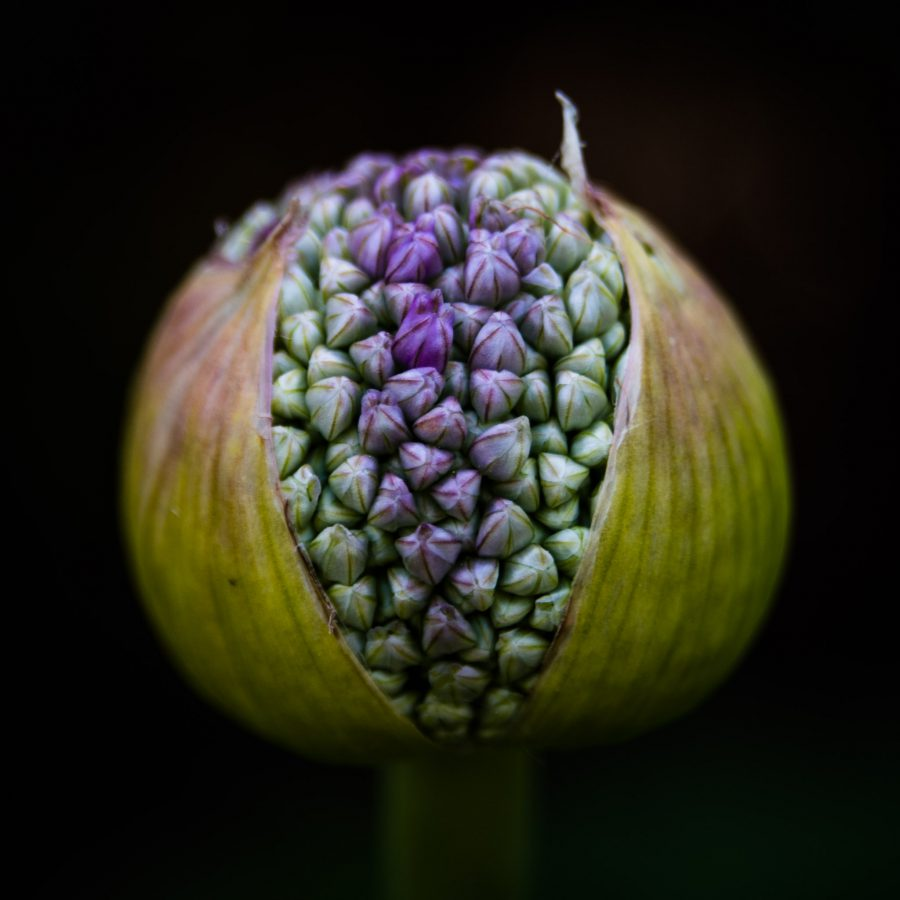 Allium No 1