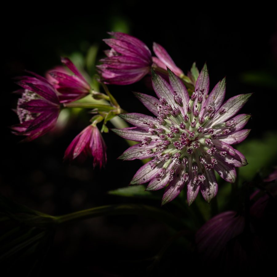 Allium No 10