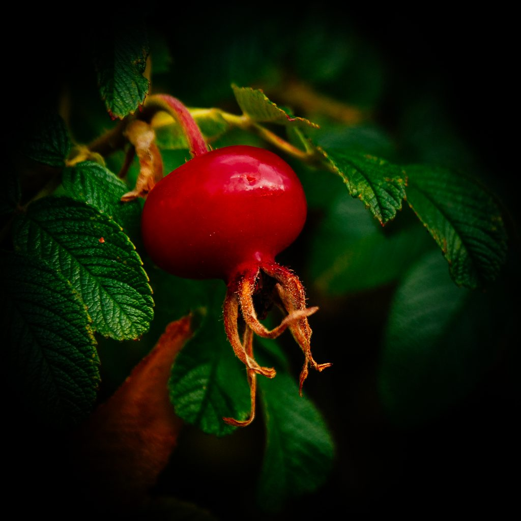 Rose Hip No 1
